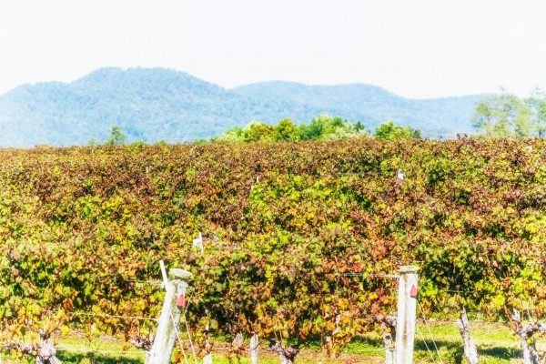 Hitze-und-Trockenheit-Auswirkungen-auf-Weinreben